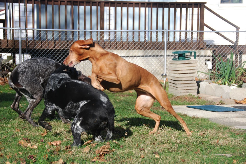 Chain Link Fence News - Fences for Dogs | Dog Fencing Solutions